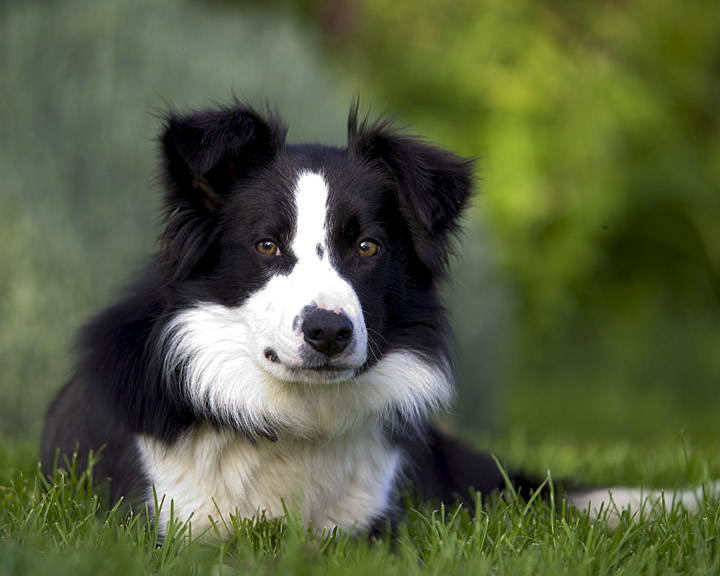 border collie sheepdog expecting puppies
