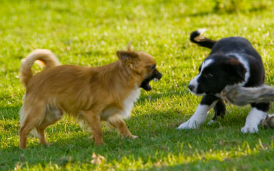 Chihuahua Alfie with a border collie puppy