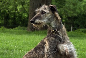 Deerhound lurcher - Eris