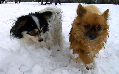 Chihuahua x Papillon and Chihuahua dogs in the snow