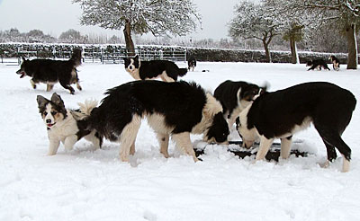Photo of a group of sheepdogs drinking icy water in the snow
