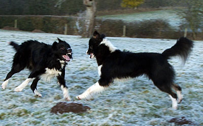 Photo of Border Collie Sheepdogs playing on a frosty field