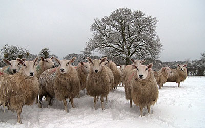 Photo of sheep standing around in a snow covered field with a large oak tree behind them.