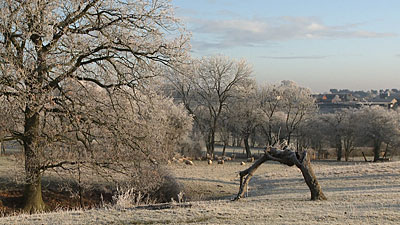 Sheep in the field with frost on the trees