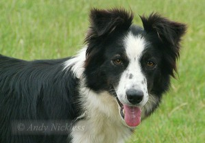 Rough coated black and white border collie bitch Connie, looking at the camera with her tongue out!