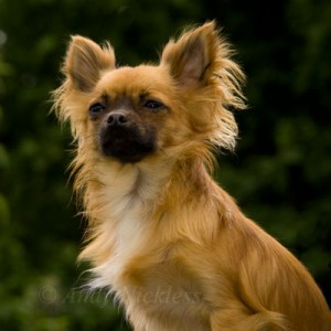 Alfie the chihuahua sitting upright, regally looking into the distance