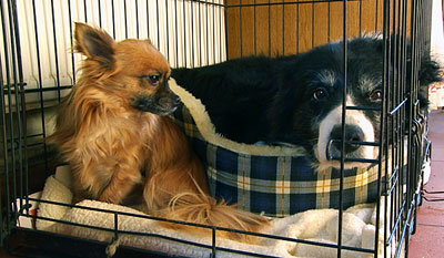Chihuahua Alfie is reluctant to share his bed with Border Collie Glen