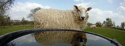 Sheep at water trough
