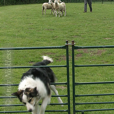 Doris leaves the ring during a recent sheepdog training session.