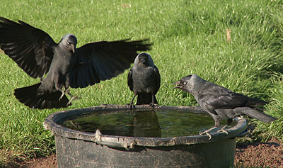 jackdaws drinking at a water tank