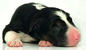 This is a newly born Border Collie puppy
