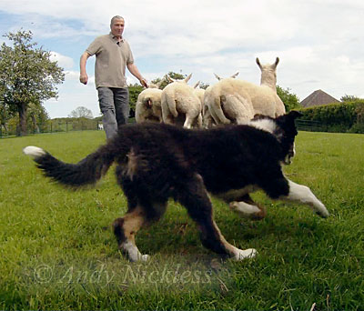 Sheepdog puppy Mossie learns to keep her sheep together