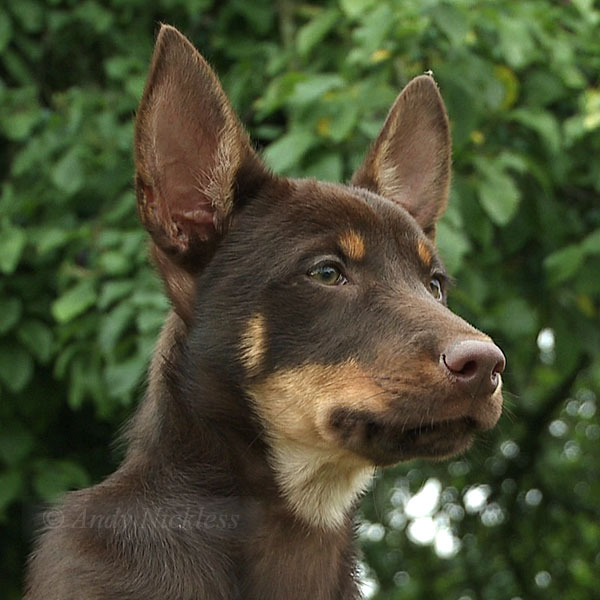 Working Kelpie Sheepdog, Red at twelve weeks of age.