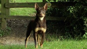 Kelpie Red's growing up