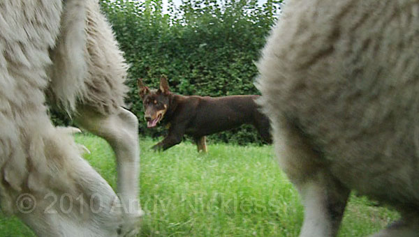 Kelpie getting sheep away from the fence