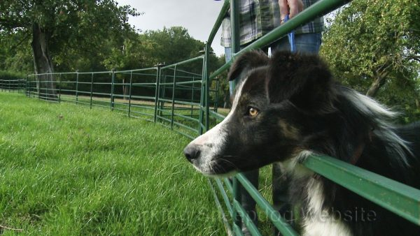 Closeup of Mossie with her head through the sheep hurdles, obviously looking at sheep