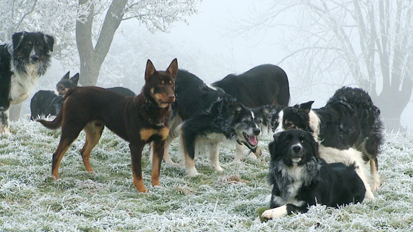 Red with some of the other dogs enjoying the hard frost