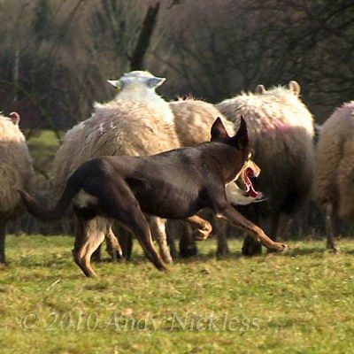 Working Kelpie Sheepdog - Molly