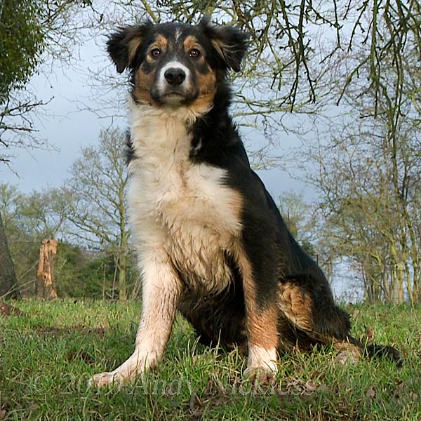 Good looking boy! Border Collie puppy, Kevin
