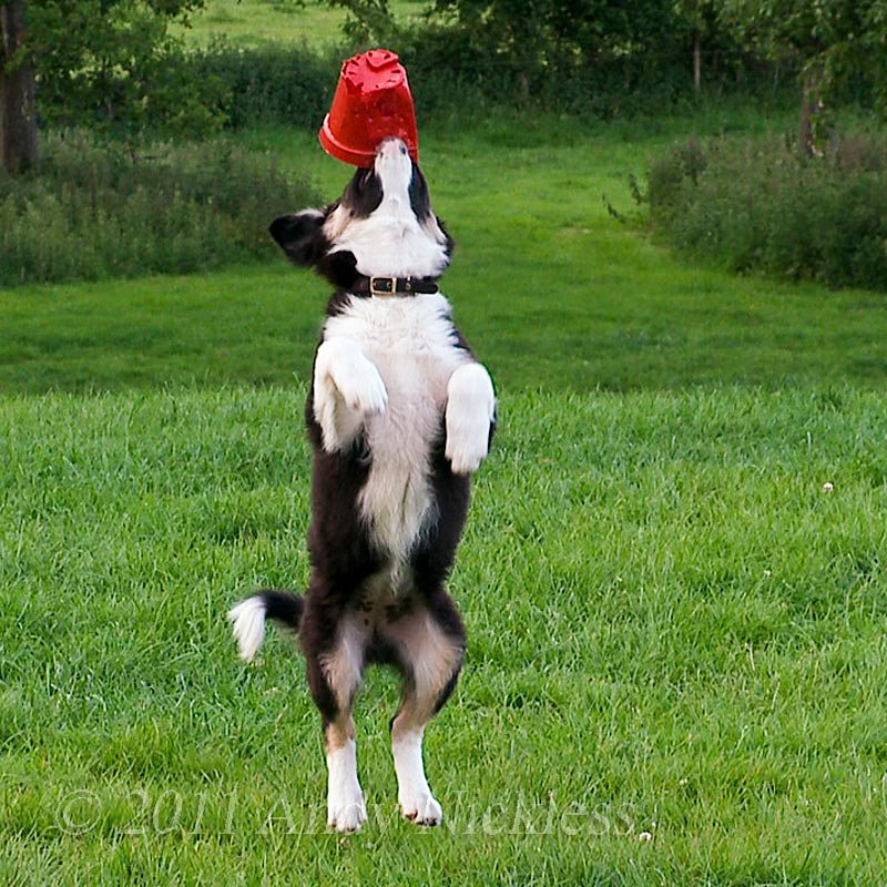 Working Border Collie puppy Carew playing with her favourite 'toy' - a soft plastic flower pot 'toy'.
