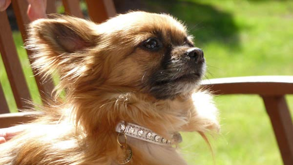 Elegant red longhaired chihuahua dog in diamond studded collar