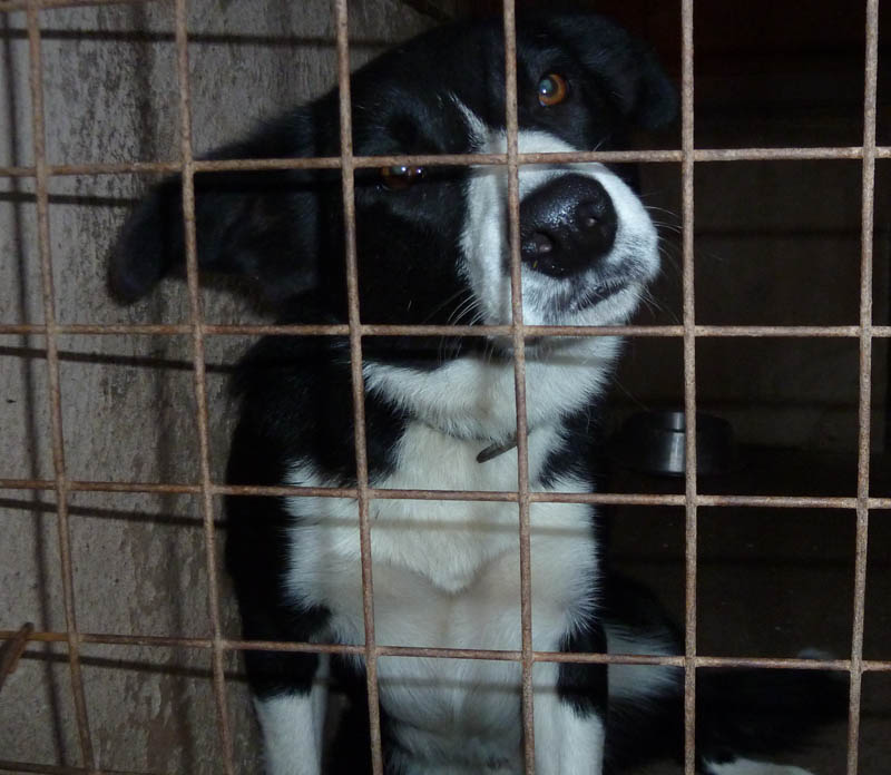 Gorgeous black and white smooth coated border collie sheepdog
