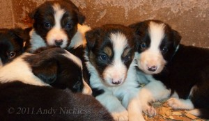 Border collie puppies at 4 weeks of age