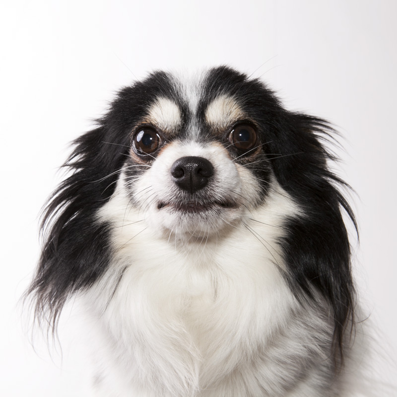 Chester the Papillon's ears droop when fhe's aced with a scary camera
