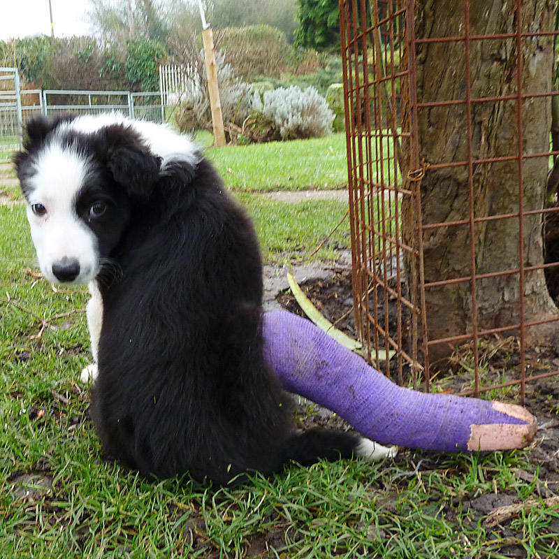 Black and white puppy Lupin finds her plastered back leg sometimes won't go where she wants it