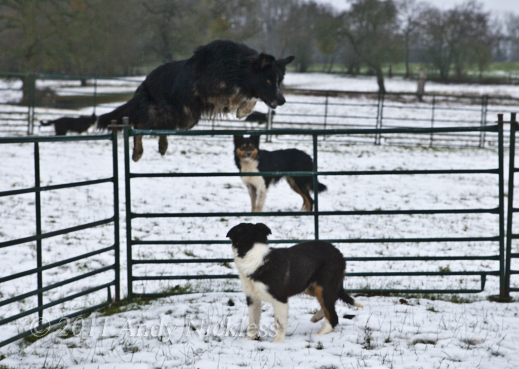 Mick loves to jump things - here he's jumping the sheep hurdles in the snow.