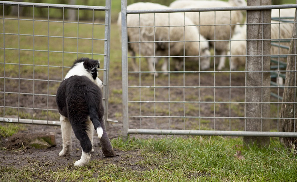 Sheepdog puppy Lupin with her leg in plaster, eyeing the sheep through a fence