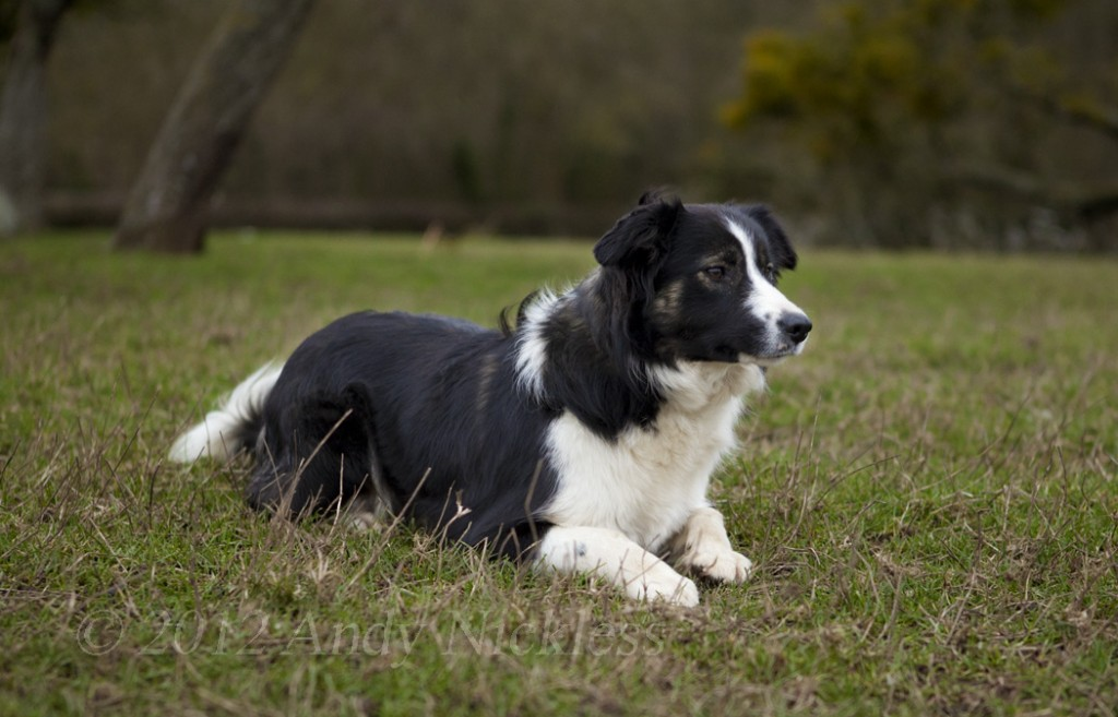 Border collie sheepdog watching her sheep