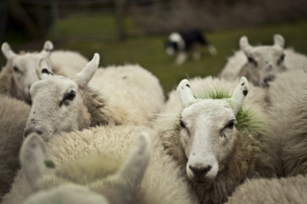Close up of sheep with a sheepdog in the background