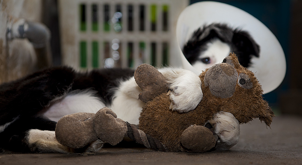 """Border collie weraing a """"Buster"""" collar, fighting with a soft toy"""
