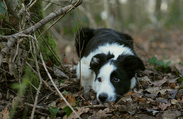 Black and white puppy playing hide-and-seek