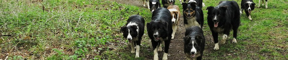 Teaching the dogs to 'stay close' while walking in the woods