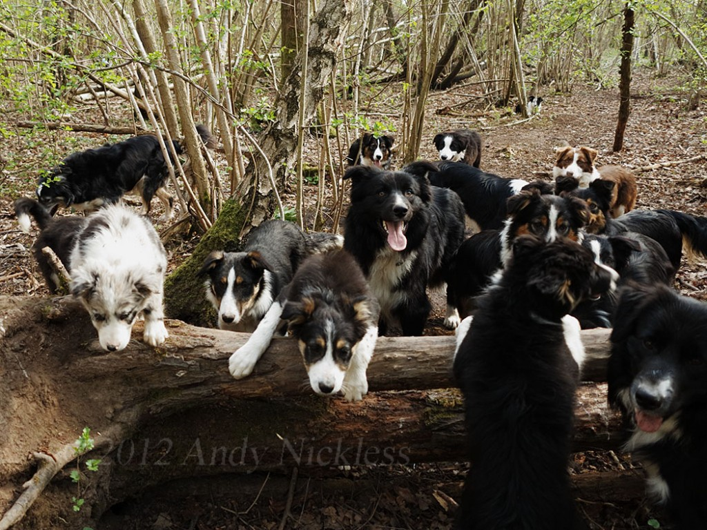 A group of collies, of all ages, climbs over a fallen tree in the wood