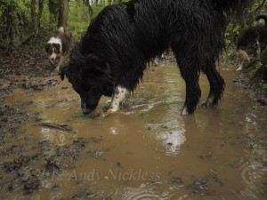 A large sheepdog plays in an equally large puddle from the overnight storm.