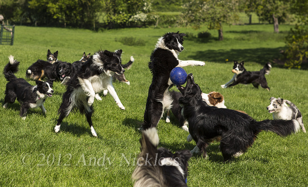 A group of working Border collies play good-naturedly together with a ball.