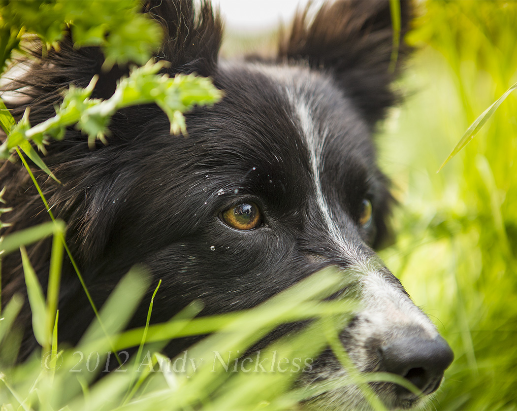 Pip shows the hunting instinct while working sheep