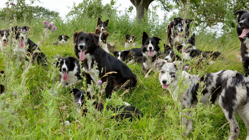 Photo of 16 Border collies relaxing in the orchard