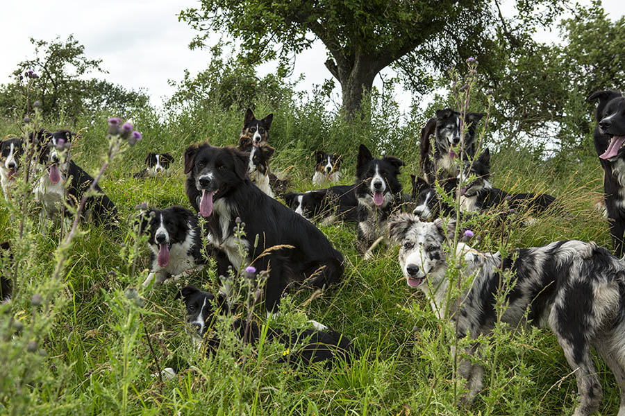 16 Border collies relaxing in the orchard