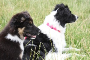 Border collie puppy watching the action, but staying close by her new friend