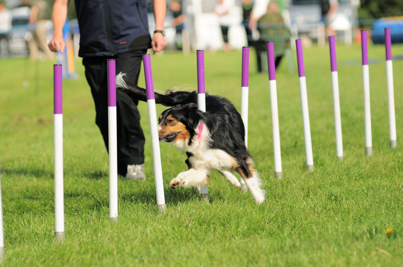 Tricolour Border collie bitch completing the weave exercise