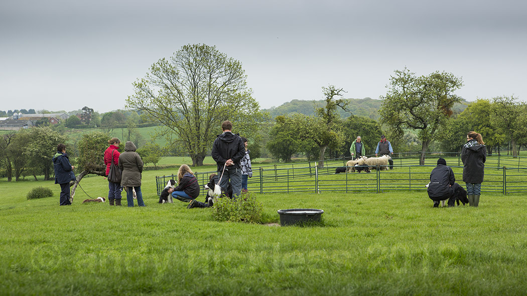 Sheepdog training course in action with dog, sheep and handler in the training ring, and other course members and dog looking on.