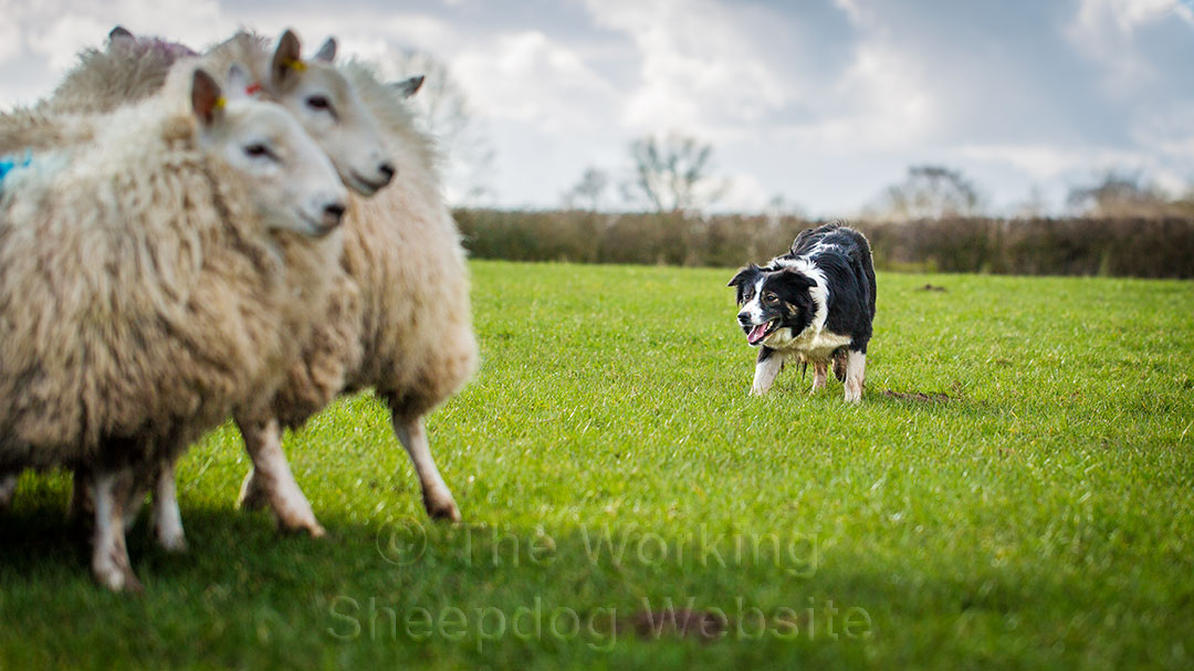 Working sheepdog Carew keeps her sheep together