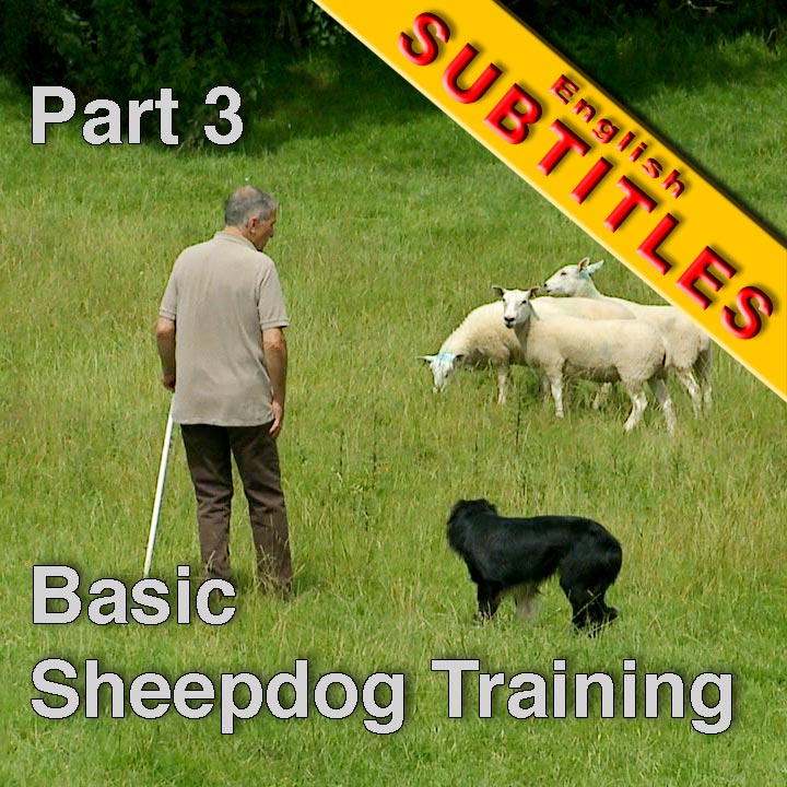 Sheepdog trainer with trainee dog, and sheep in the background
