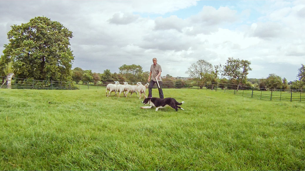 Sheepdog Max learning to herd sheep in a training ring