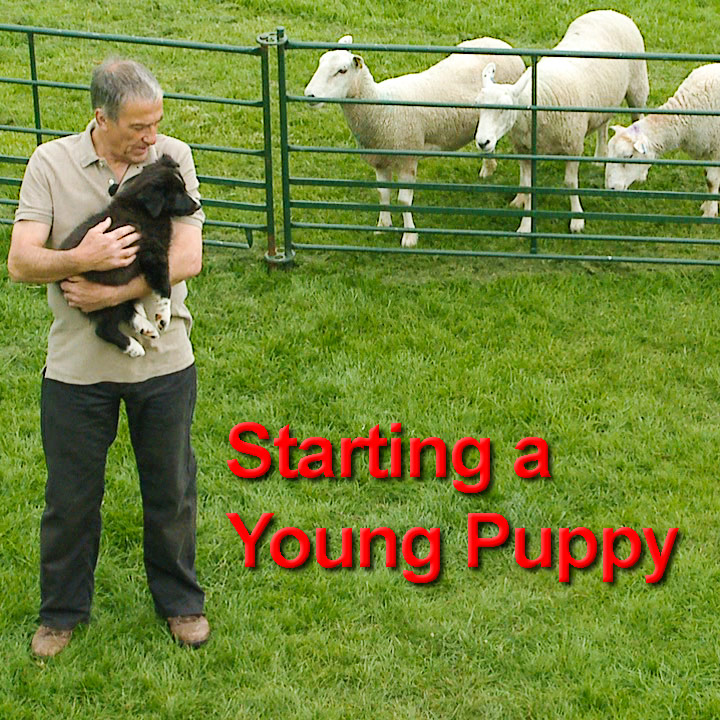 Cover image of Starting a Young Puppy training tutorial