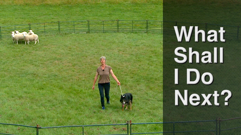 Cover image for sheepdog training tutorial - What Shall I Do Next?